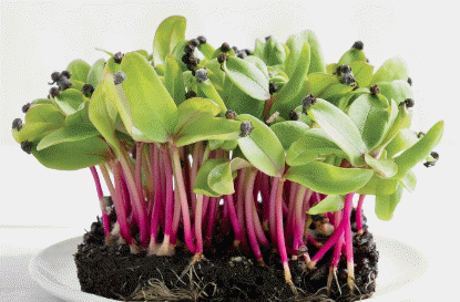 Microgreens growing on a plate