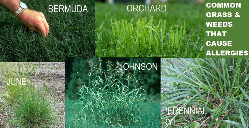 Common Grasses That Cause Allergies